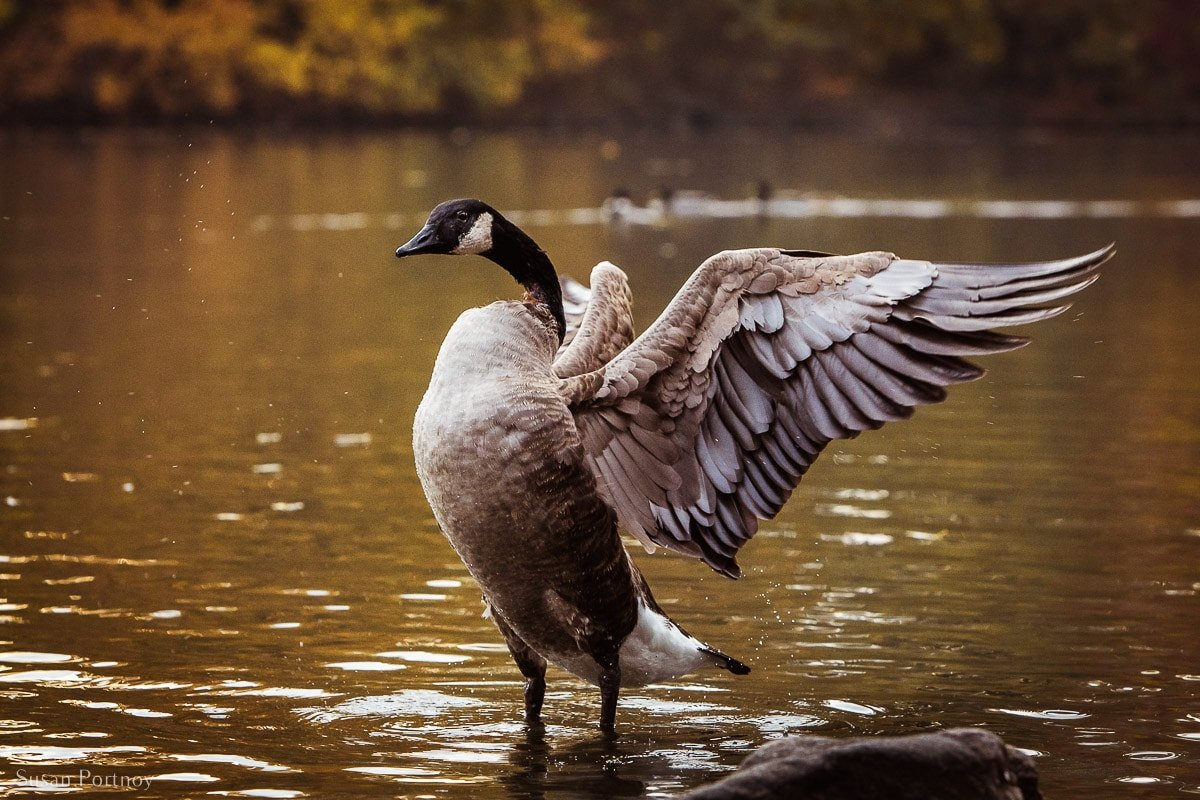 One of the many Canadian Goose you'll see flapping it's wings in the lake in Central Park