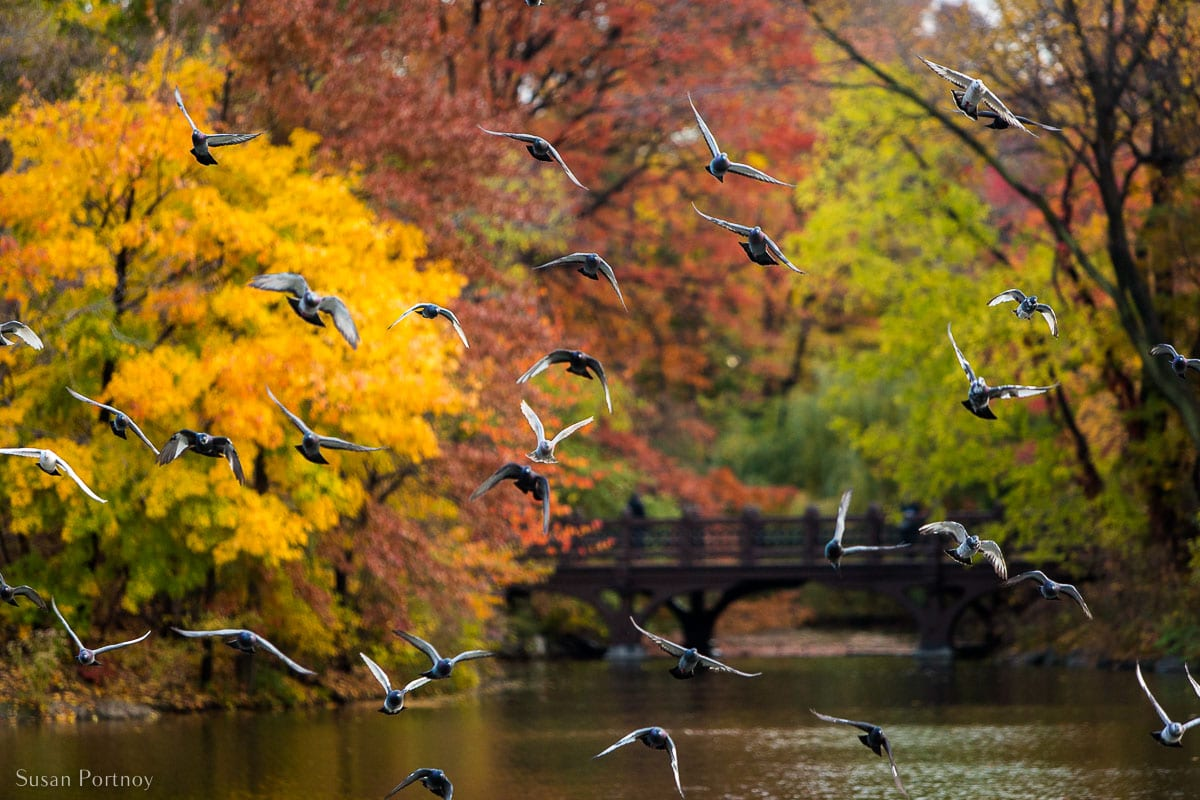 View from the Herns Head north to Oak Bridge in Central Park in Fall