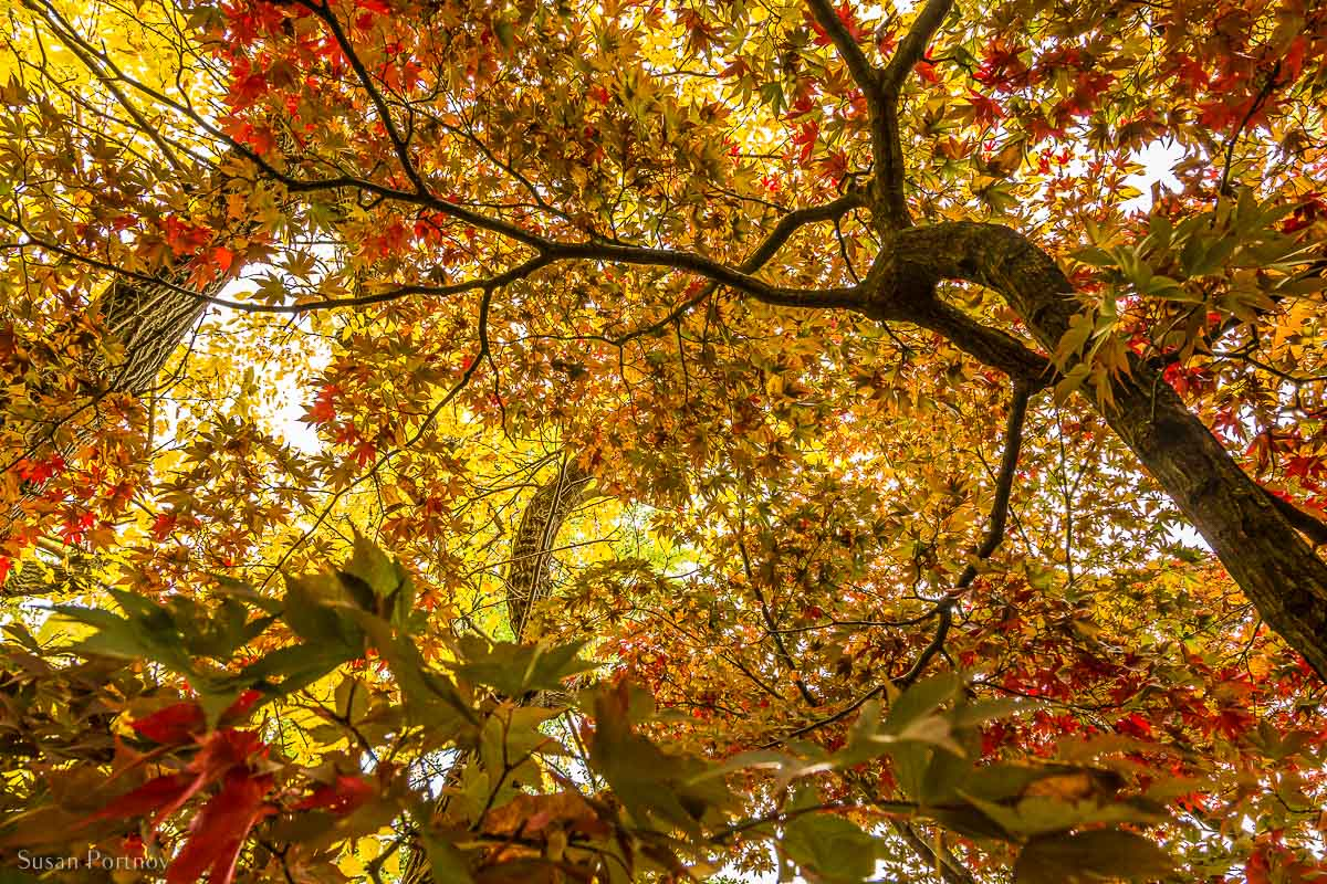 Looking up at the colorful autumn leaves in Tupelo Meadow in Central Park