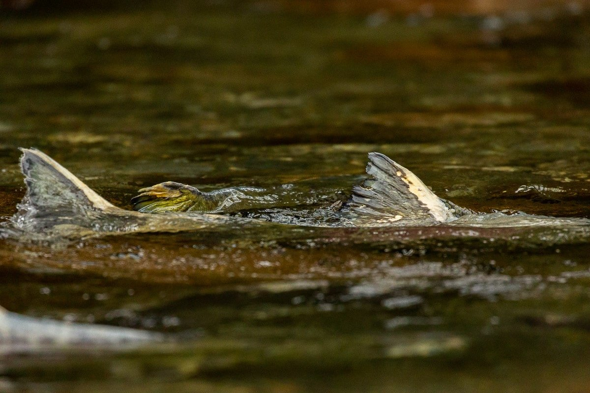 The dorsal fins of pink salmon stick above the surface of the water in the Great Bear Rainforest.