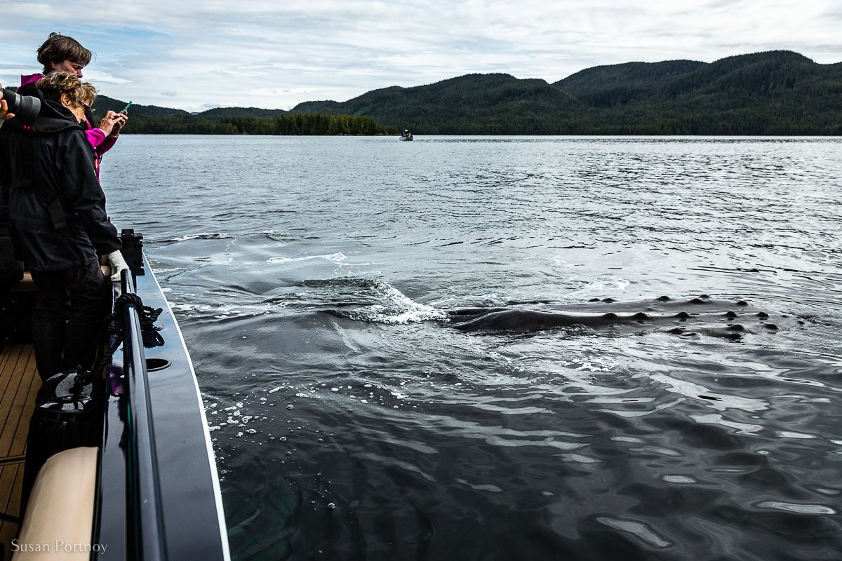 Passengers on a tender taking photos of a humpback whale next to the boat