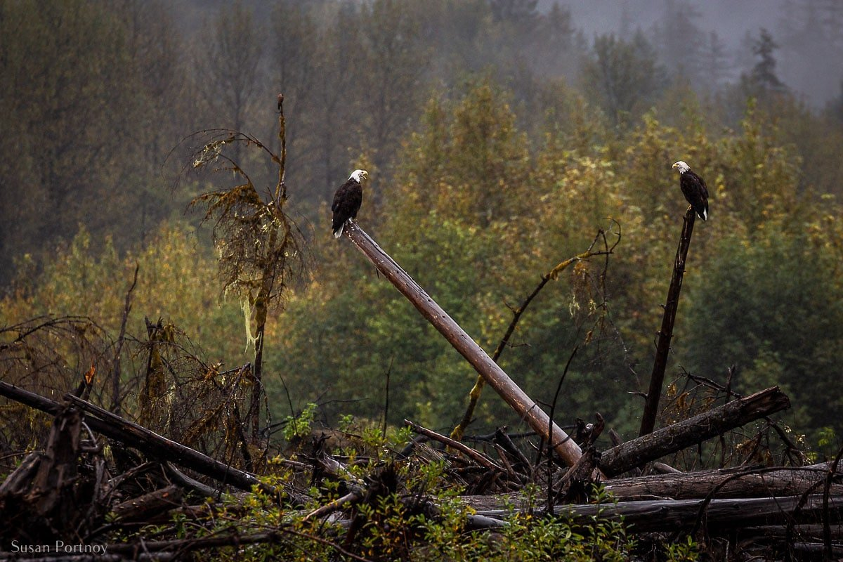 Two bald eagles perching on two dead trees in the middle of the British Columbia's Rainforest