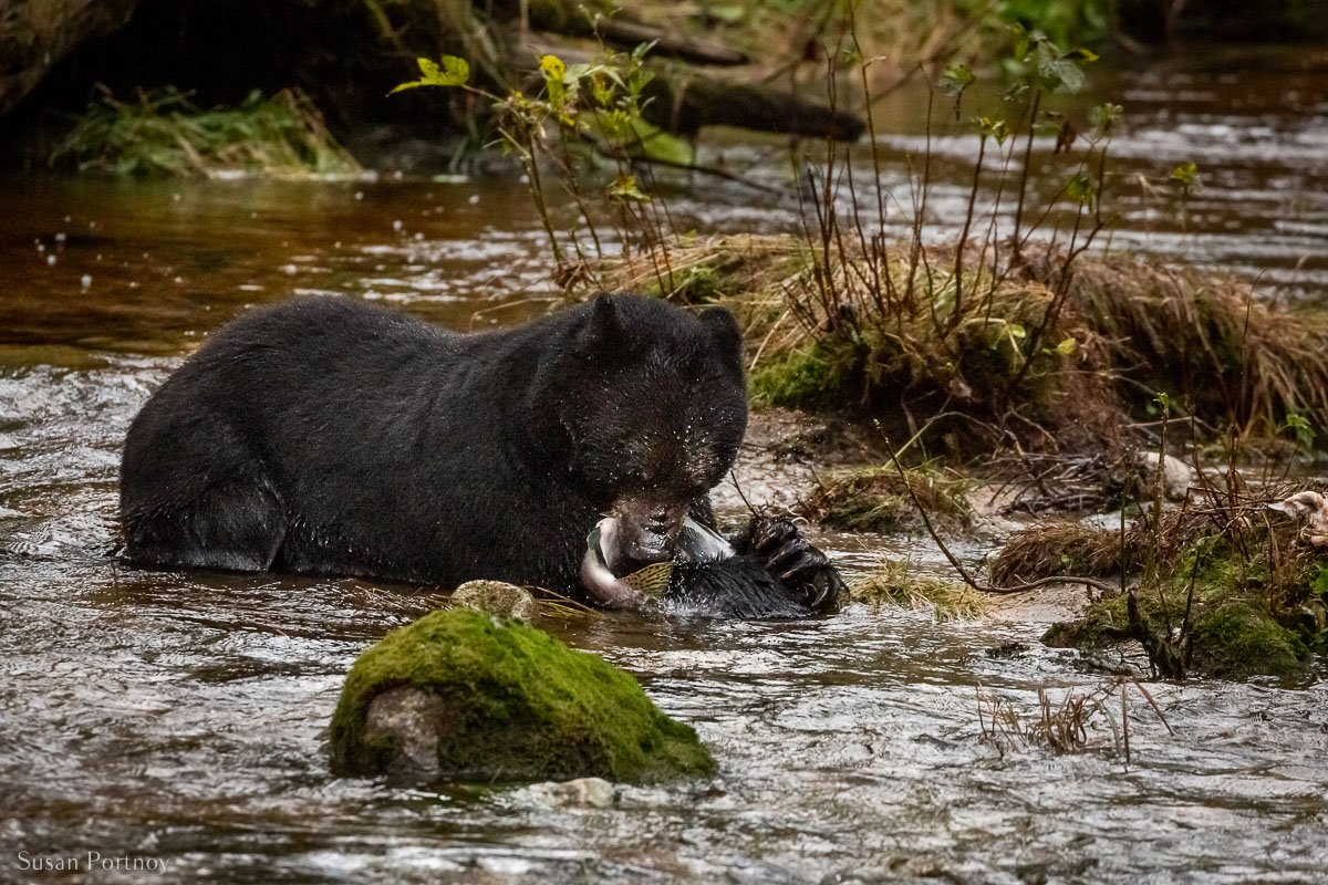 A black bear of Canada catching a salmon in a river in the Great Bear Rainforest
