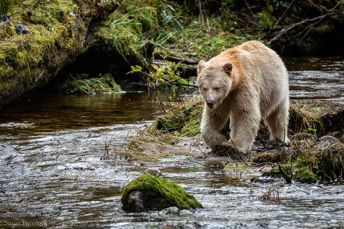 Boss, the ivory-colored Spirit Bear in the Great Bear Rainforest