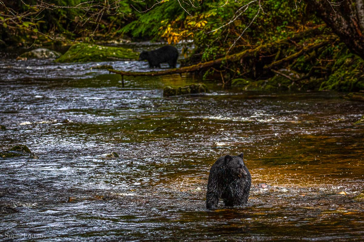 Two black bears fishing in a wide stream on Gribbell Island one of the best places for bear watching in Canada