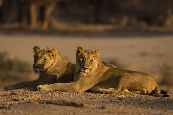 Two male lions (called the Musketeers) laying next to each other next to the Hoanib Riverbed in Namibia