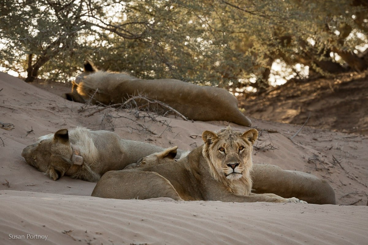 Four of five desert-adapted lions sleeping on the sand in the Namib Desert