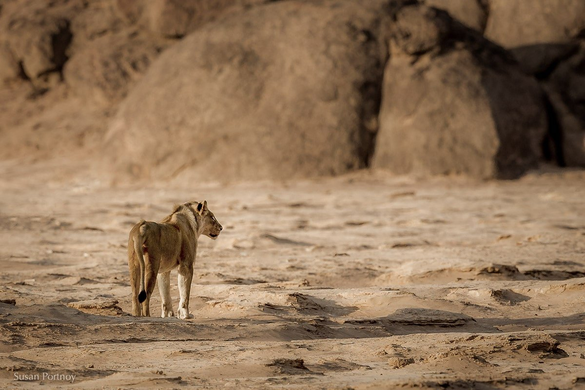 A beautiful desert-adapted lion in the rocky midst of the Skeleton Coast in Namibia