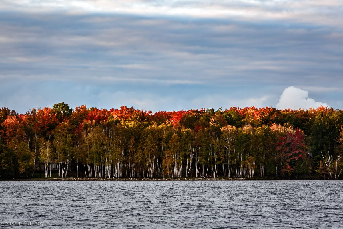 Trees under a blue sky on Trout Lake bursting with Mi Fall Colors