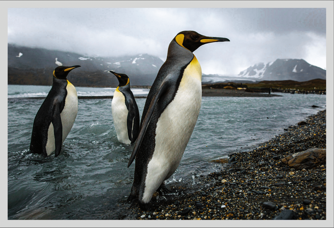 Photo of 3 Penguins in a River
